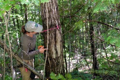 Biologist measuring tree