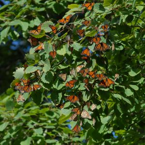 Butterflies in Tree