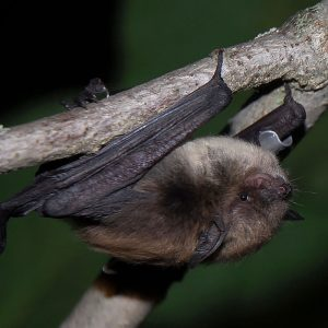 Tagged Little Brown Myotis. Photo Credit: J. Boxall, 2014.