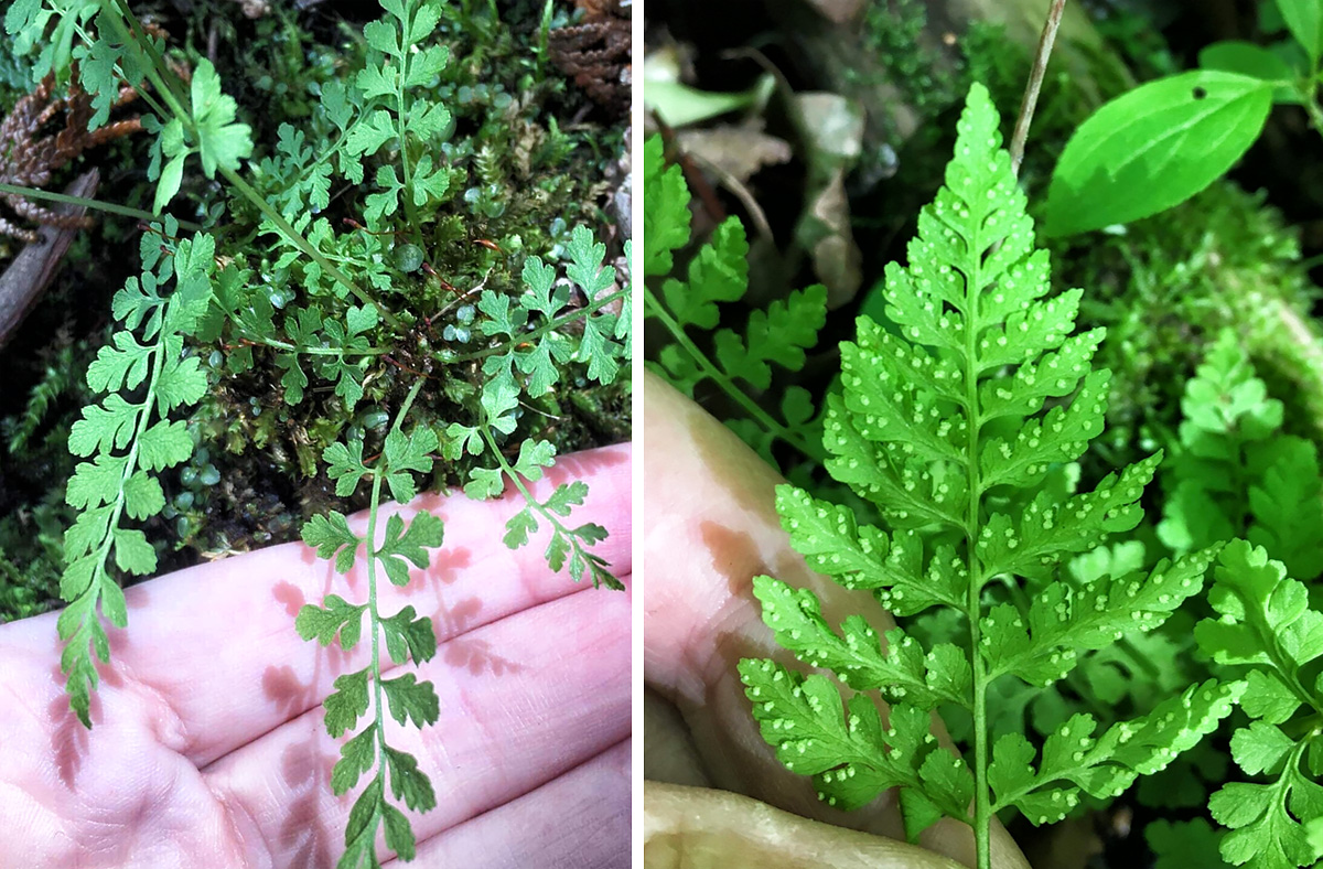Side-by-side photos of Mackay'a fern.