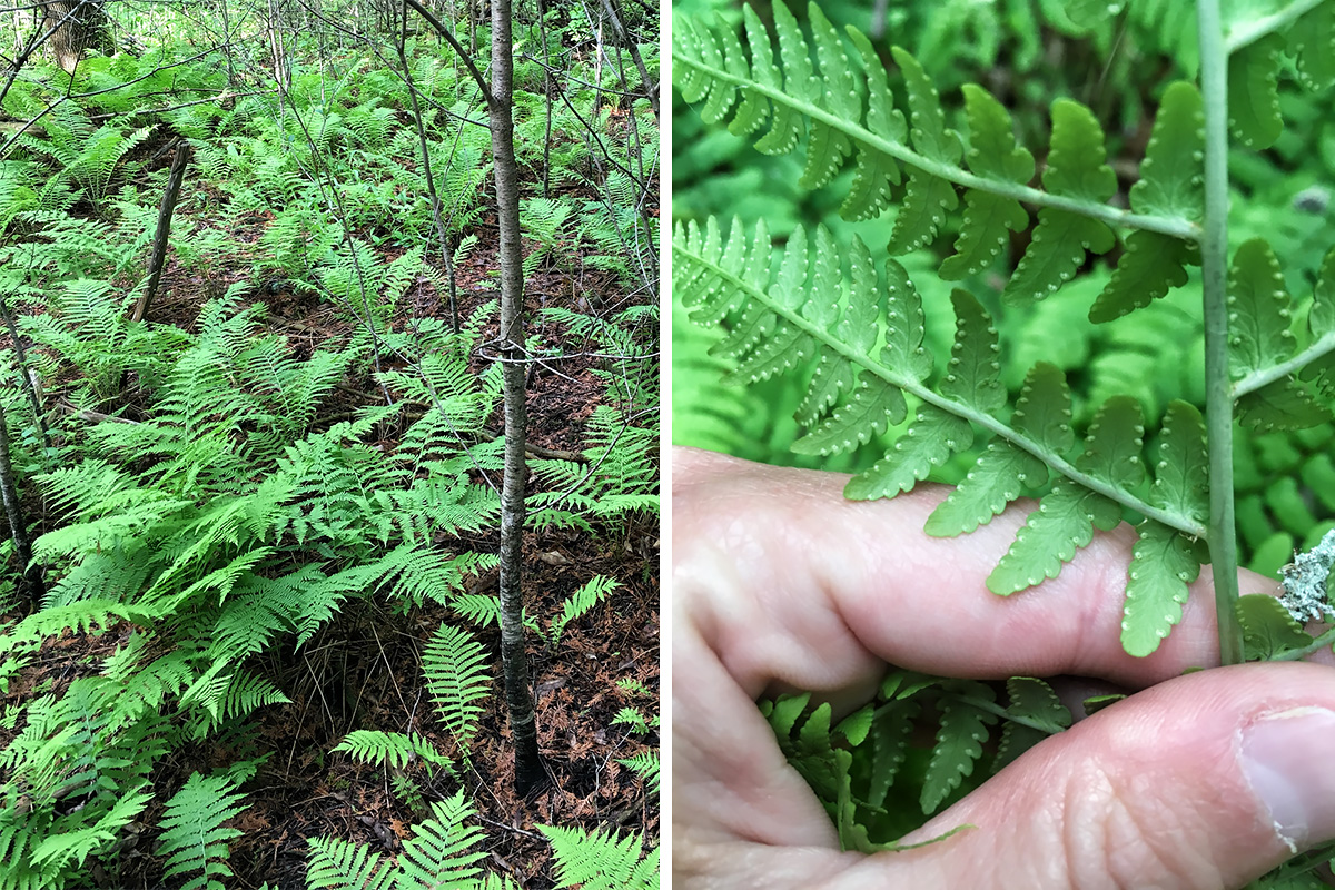 Side-by-side photos of Marginal Wood Fern.
