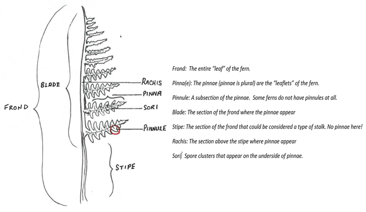 Fern identification diagram.
