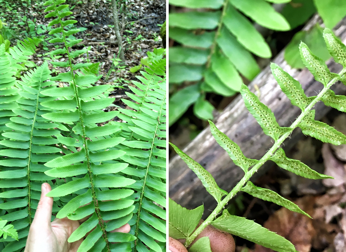 Side-by-side photos of a fern.
