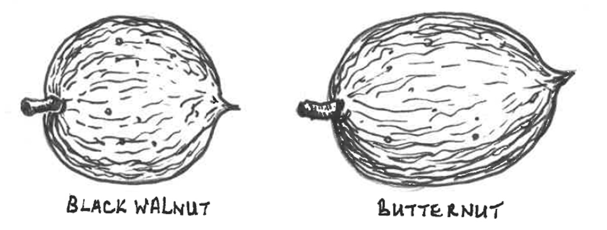 Drawing of a comparison of Black walnut and Butternut seeds.