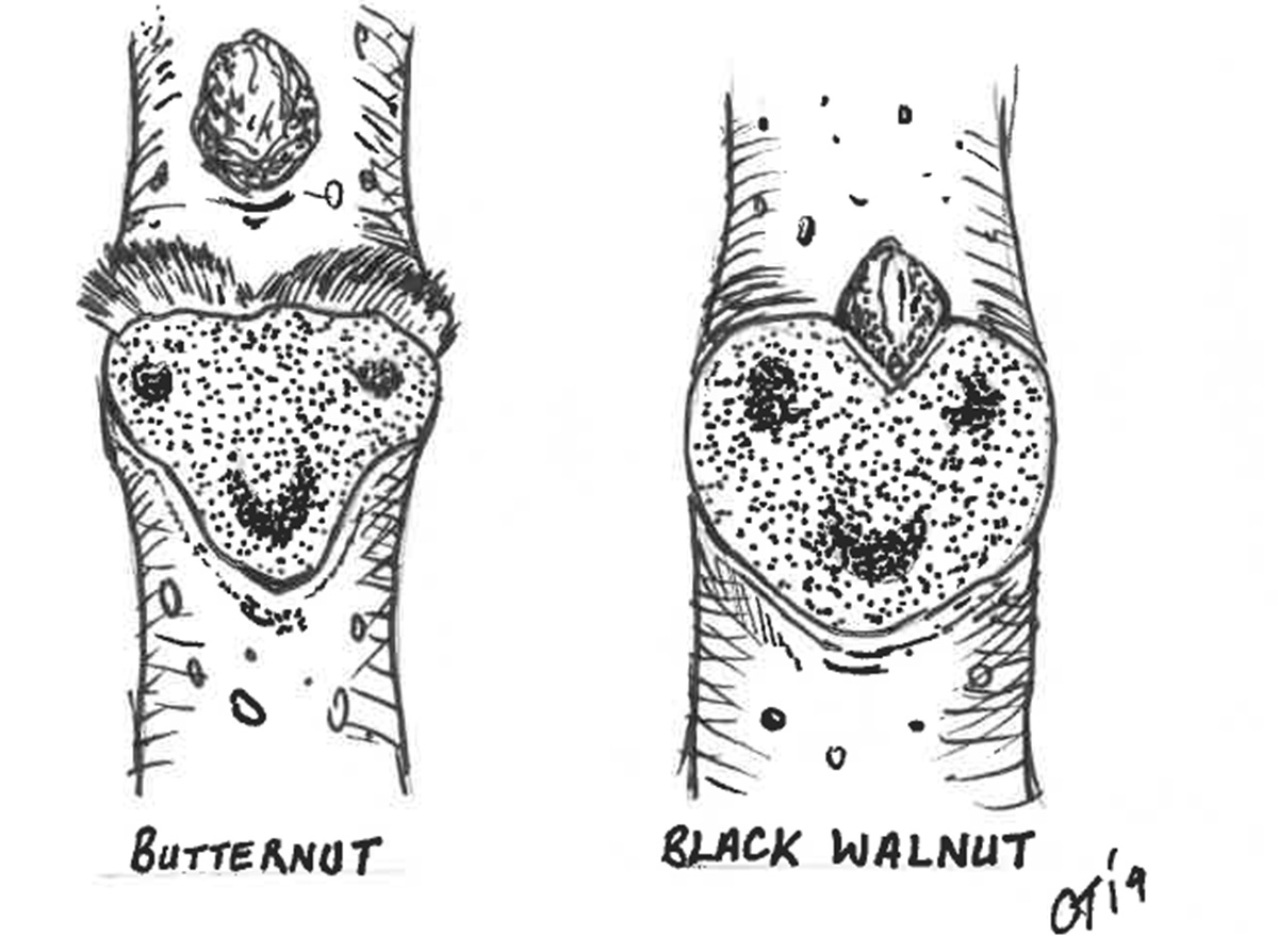 Comparison drawing between black walnut and butternut seed.