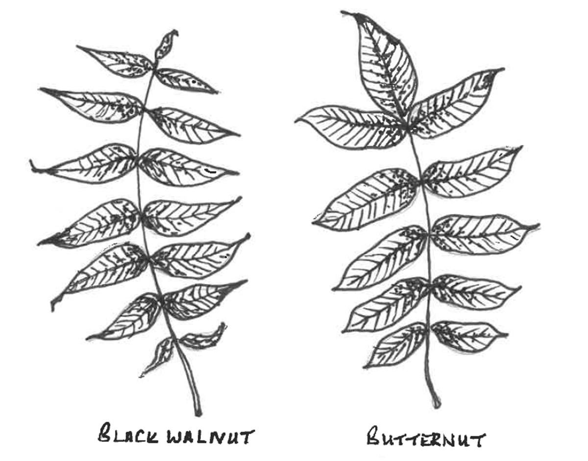 Comparison of black walnut and butternut leaflets.